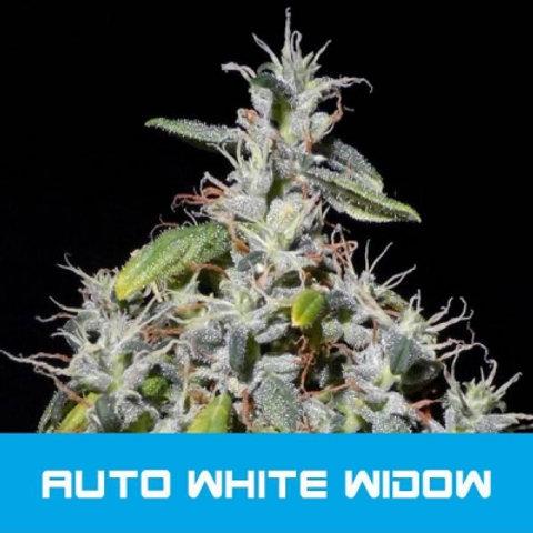 BMS WHITE WIDOW AUTO
