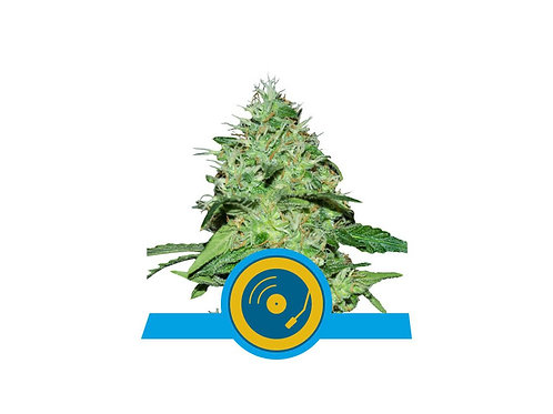 JOANNE S CBD  AUTO ROYAL QUEEN SEEDS