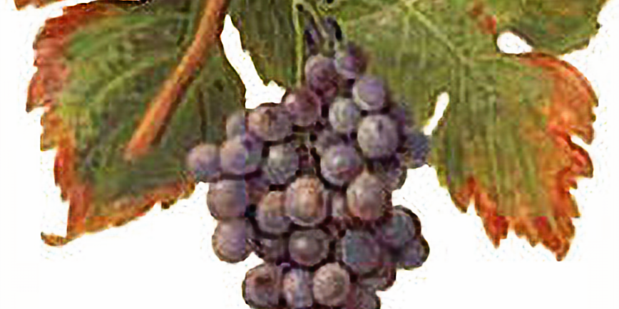 Italian Red Wine by the Grape - Live Online Mini-Course, Fall 2020