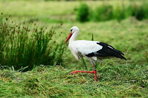 stork-4300368_1280.jpg