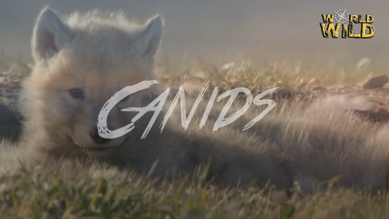 "WORLD WILD: ep01 ""CANIDS"""