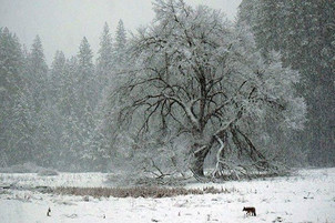 A coyote hunting in Yosemite valley duri
