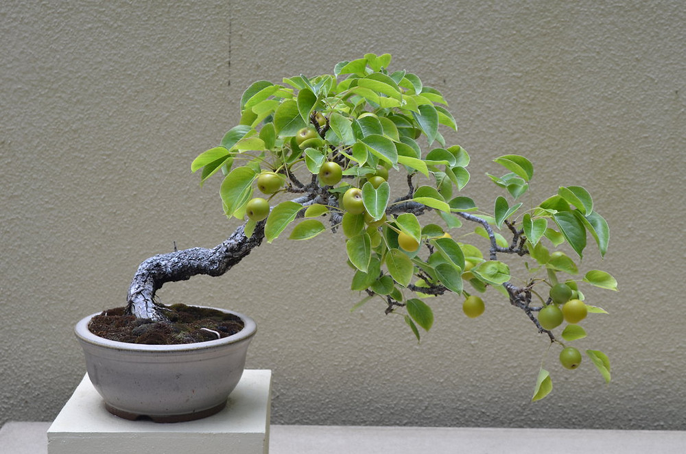 bonsai_pear_tree_by_zackmanh-d6ddcxk.jpg