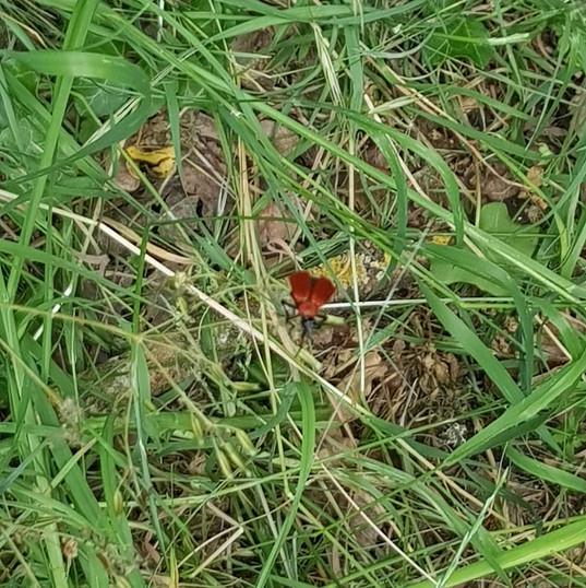 Identifying Wildlife - Red Head Cardinal Beetle
