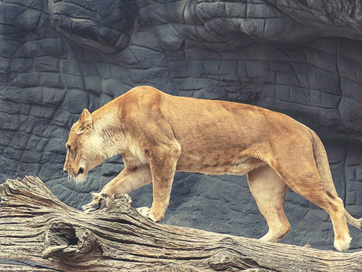 Löwe-Neumond
