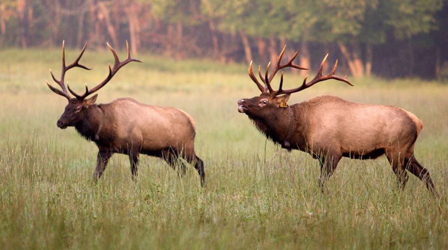 Cataloochee Valley Elk