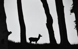 Sneaky Deer