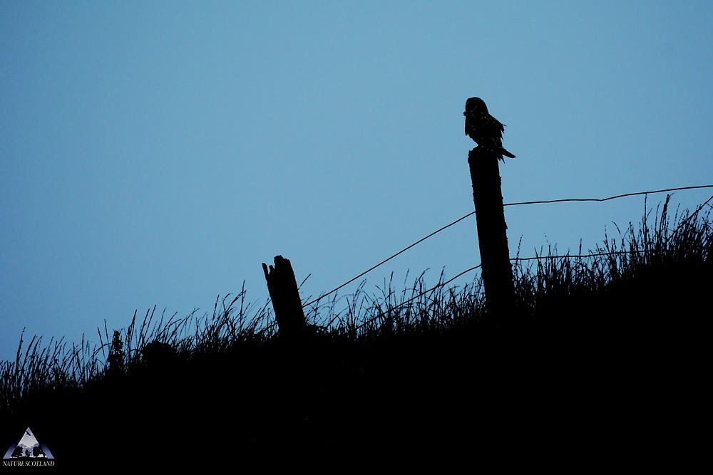 Short-eared Owl, Mull, Isle of Mull, Mull Evening Tour,