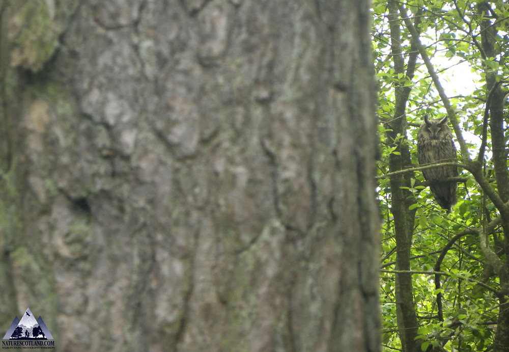 Long-eared Owl, Nature Scotland, Mull, Isle of Mull, Ewan Miles