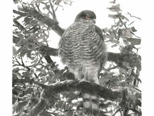A Sparrowhak's Lament by David Cobham