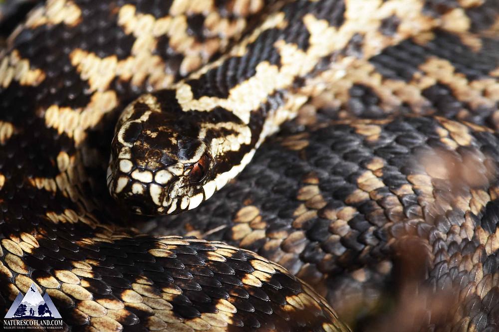 adder, snake, mull, isle of mull, wildlife, nature scotland,
