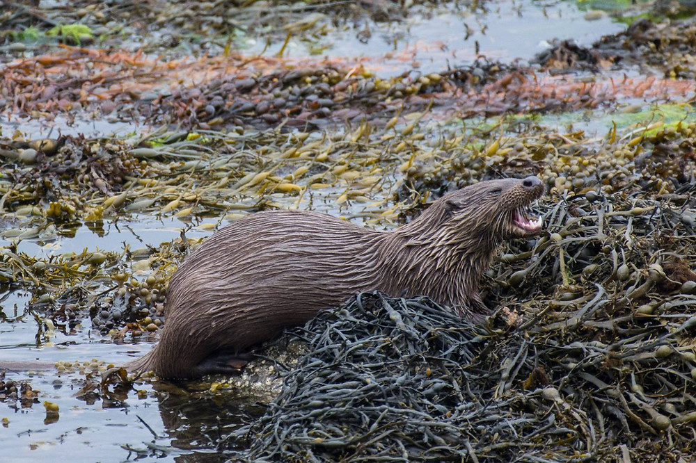 Mull, Isle of Mull, Otters, Mull Wildlife, Mull Wildlife Tours, Nature Scotland,