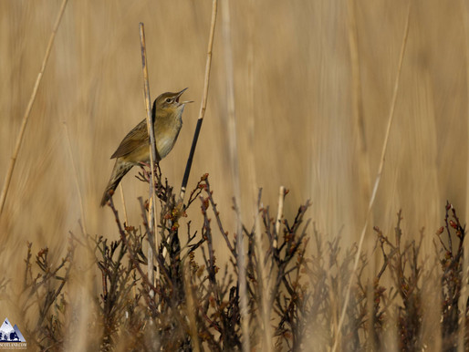 'Groppers'