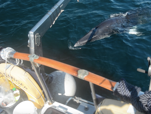 Minke Whale Associations...