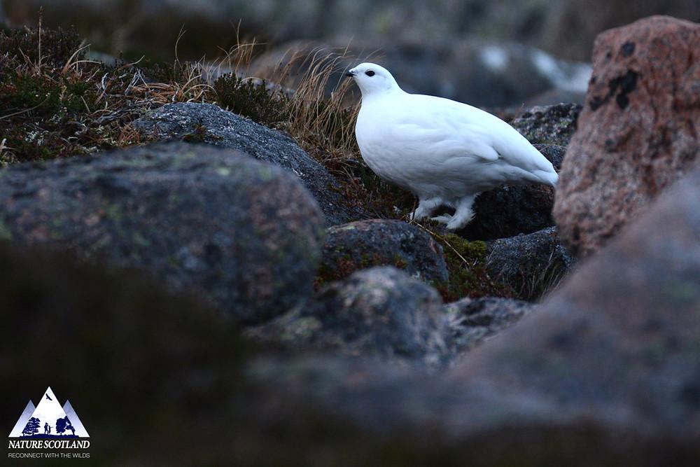 Ptarmigan, Nature Scotland,