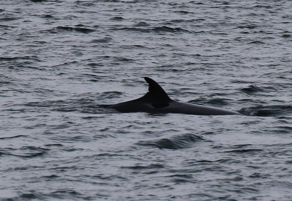 kasey the minke whale, minke whale, mull, isle of mull,