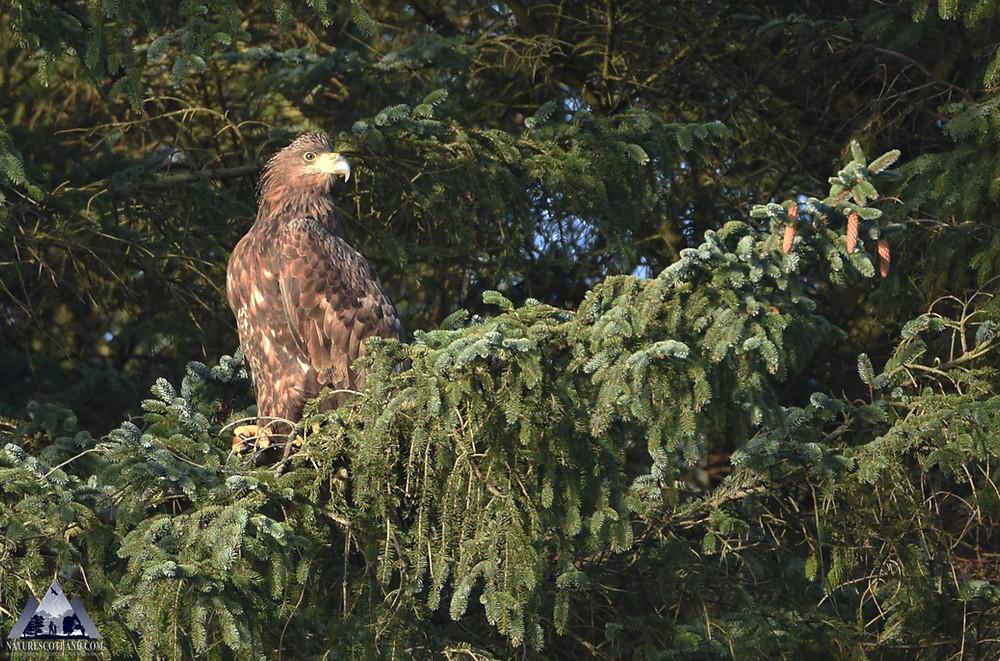 Eagle, Sea Eagle, White-tailed Eagle, Mull, Isle of Mull