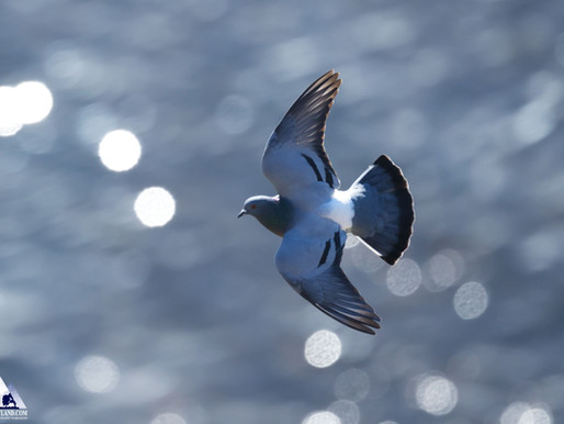 Rock Doves!