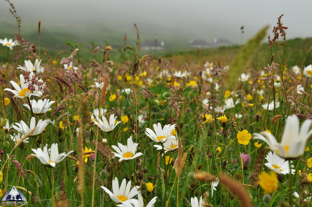 wildlife, meadows, mull, isle of mull, treshnish, Hebrides, wildlife tours,