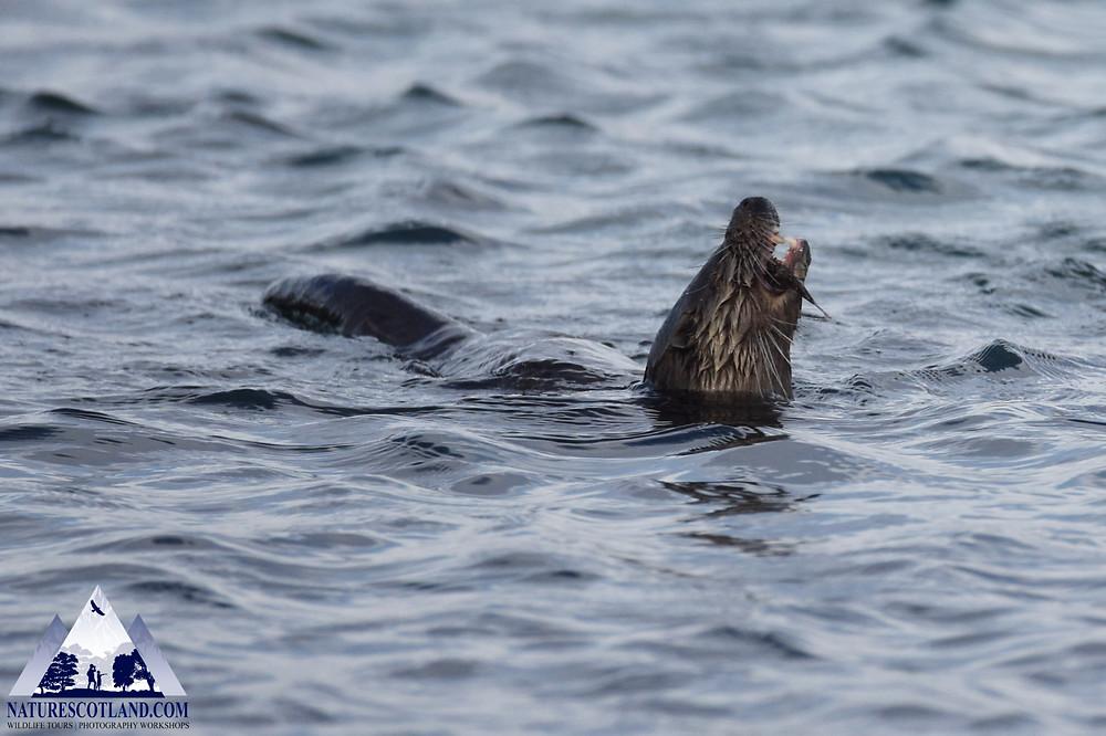 Otters, Mull Otters, Nature Scotland, Isle of Mull, Mull,