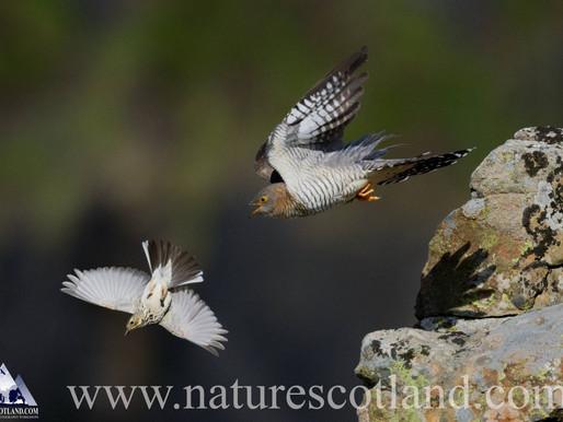 Female Cuckoo...