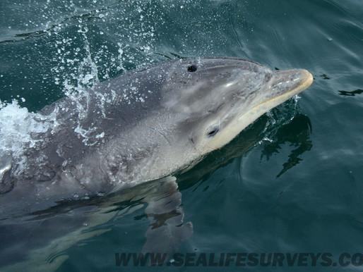 Bottlenose Dolphins...