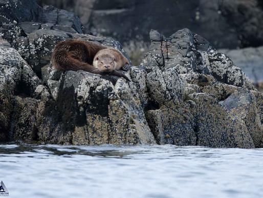 Sleeping Otter...