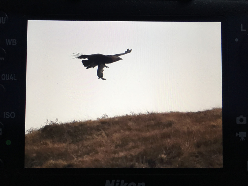 Golden Eagle, Eagle, Mull, Isle of Mull, Mull Wildlife
