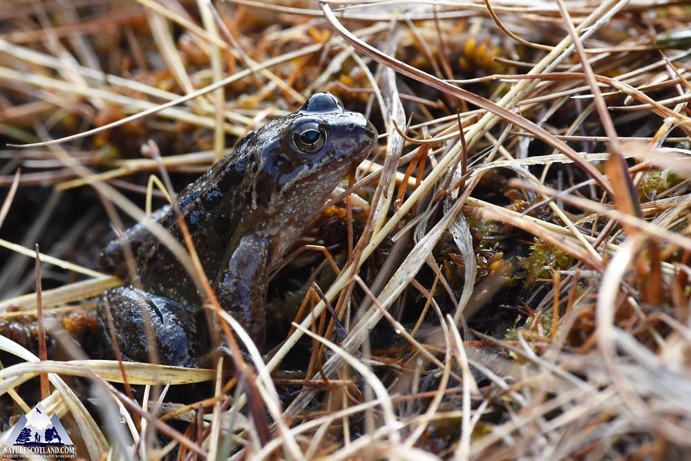 Frog, Wildlife Mull, Mull Wildlife, Mull, Isle of Mull,