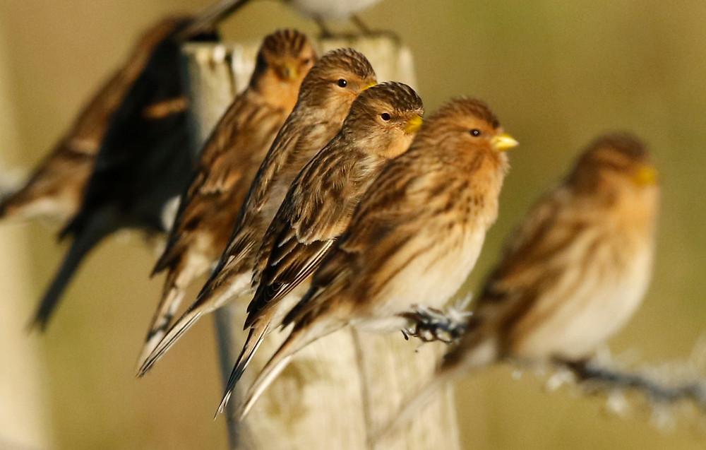 Twite, Nature, Islay, Wildlife,