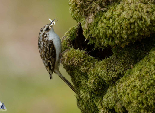 Treecreeper...