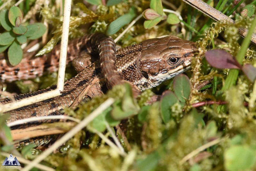 Lizard, Ardnamurchan, Nature Scotland, Ewan Miles