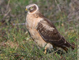 Cropping and harriers
