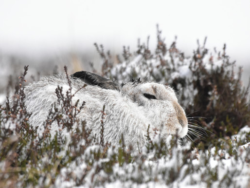 THE #CAIRNGORMS WINTER WILDLIFE EXPEDITION 2019