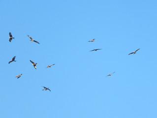Red Kites and Wildlife Tourism