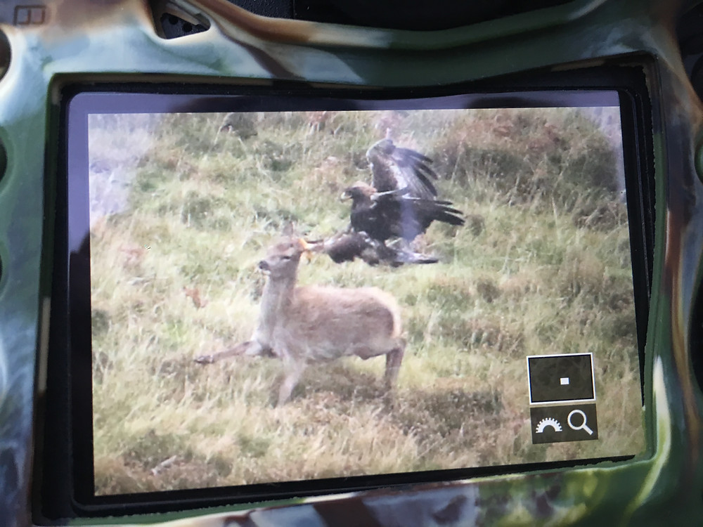 Golden Eagle, Eagle, Mull, Isle of Mull, Mull Photography, Nature Scotland,