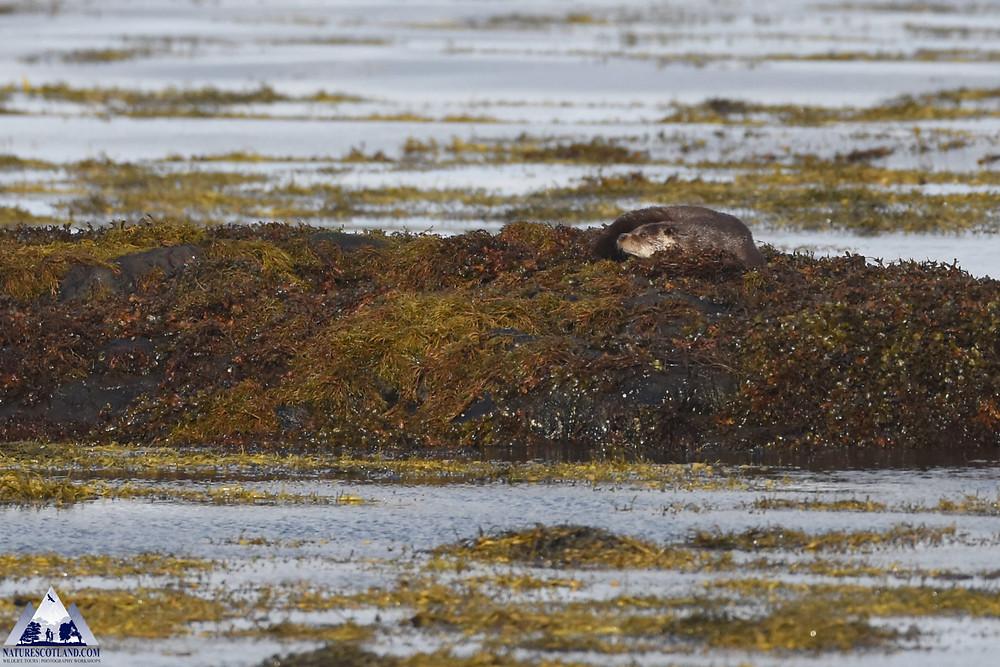 otter, mull, isle of mull, wildlife tours, mull wildlife, nature scotland,