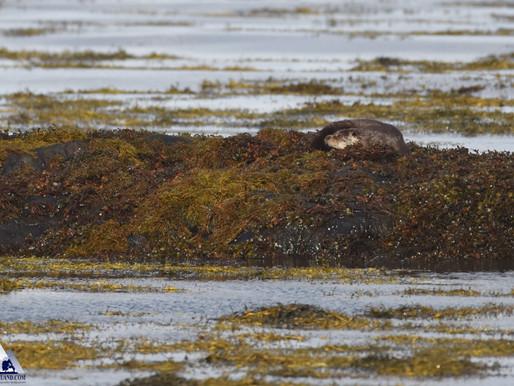 Winter Otters...