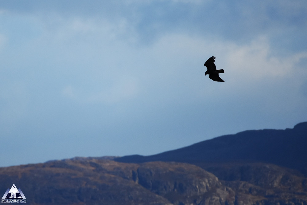 mull, isle of mull, eagle, golden eagle, nature scotland,