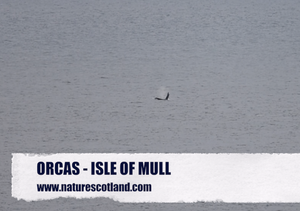 orca, killer whales, mull, isle of mull, nature scotland,