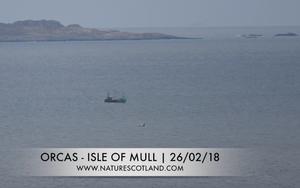 orca, killer whales, mull, isle of mull, nature scotland,