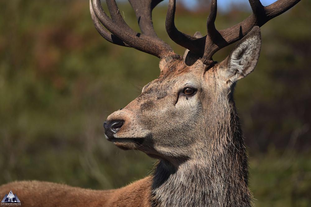 red deer, deer, ardnamurchan, the highlands, wildlife tours,