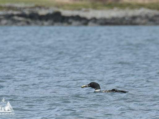 Crabbing in Loch Spleve...