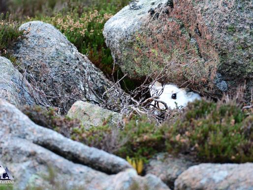 Mountain Hares...
