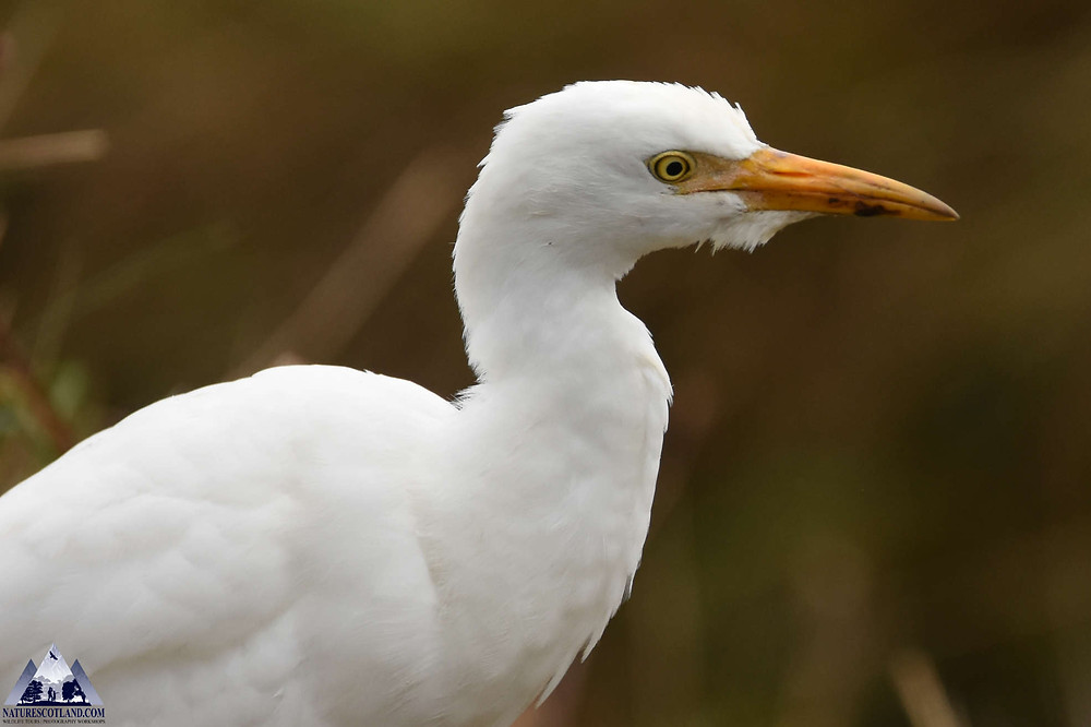Mull, Isle of Mull, Mull Wildlife Tours, Cattle Egret,