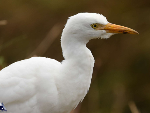 Cattle Egret!