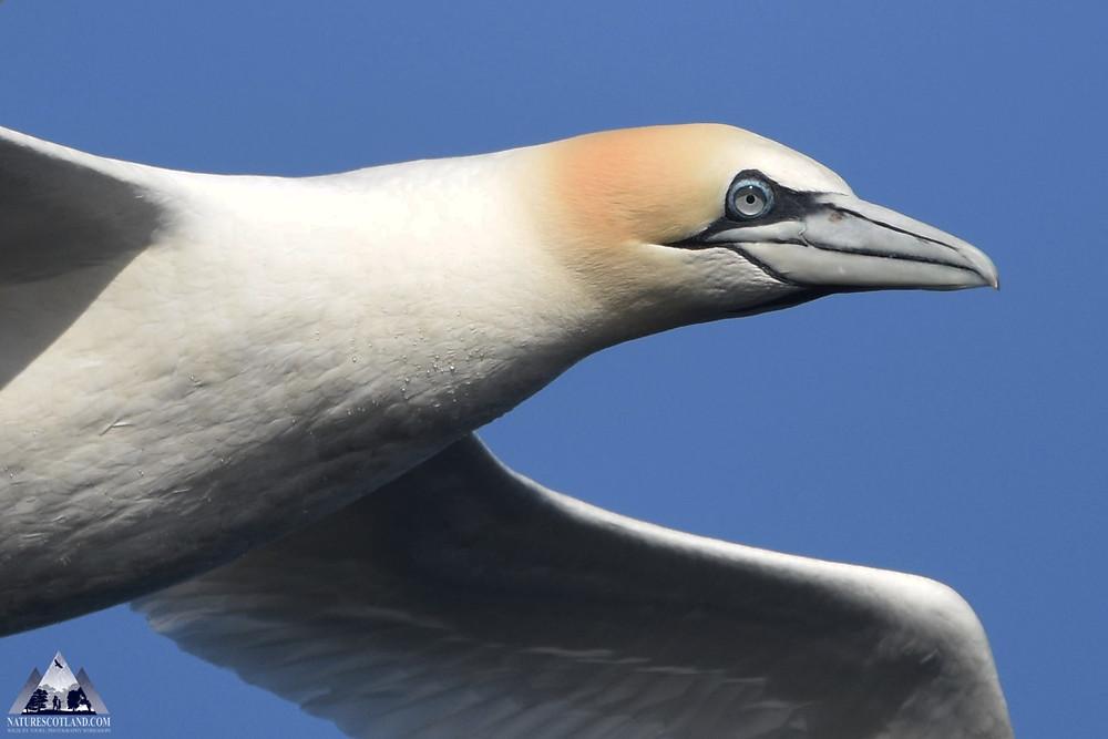 Gannet, Mull, Isle of Mull, Seabirds, Nature Scotland,