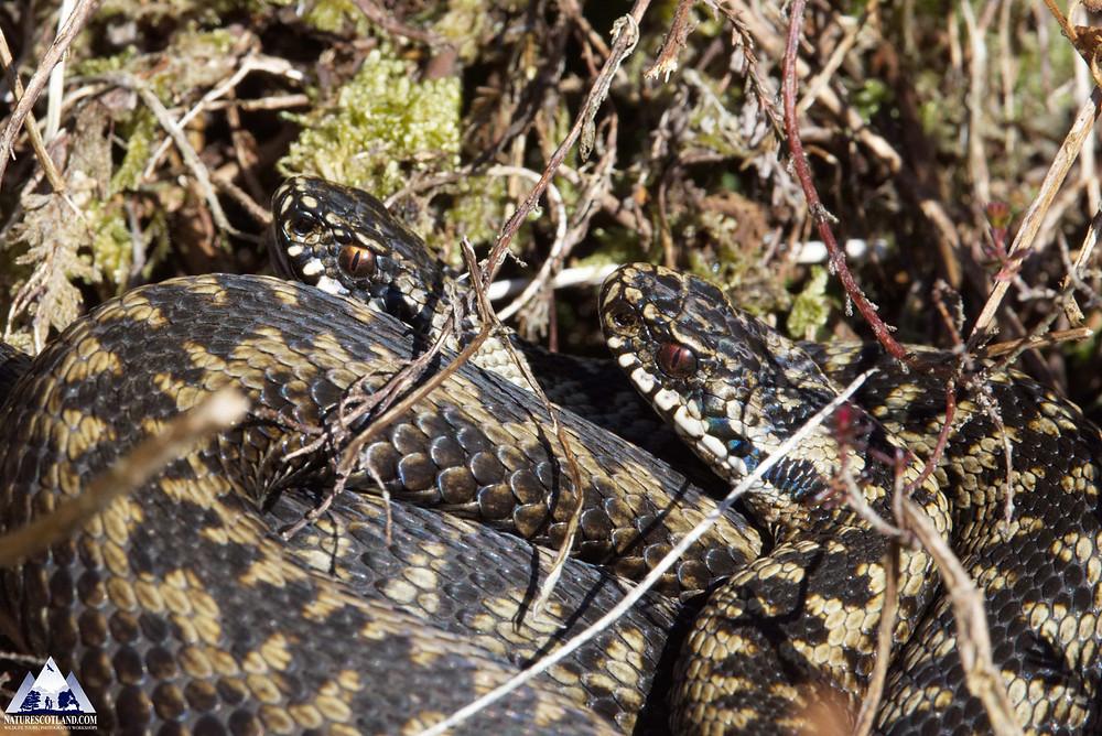 Adder, snake, mull, isle of mull, scotland, nature scotland, mull wildlife,