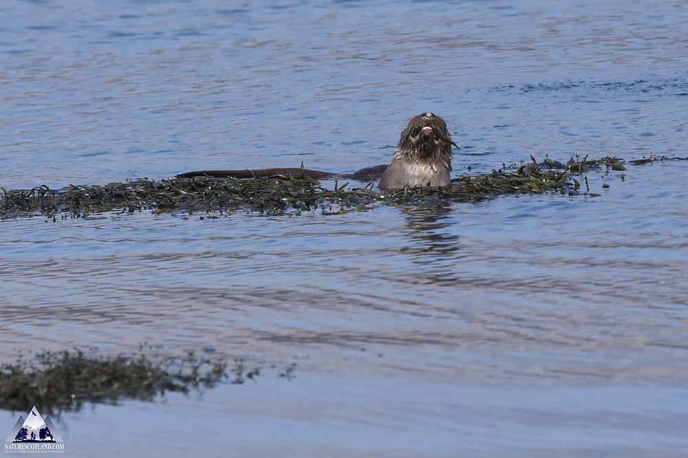 otter, isle of mull, mull