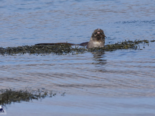 Otters on recent tours...